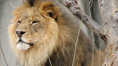 Lion, file photo