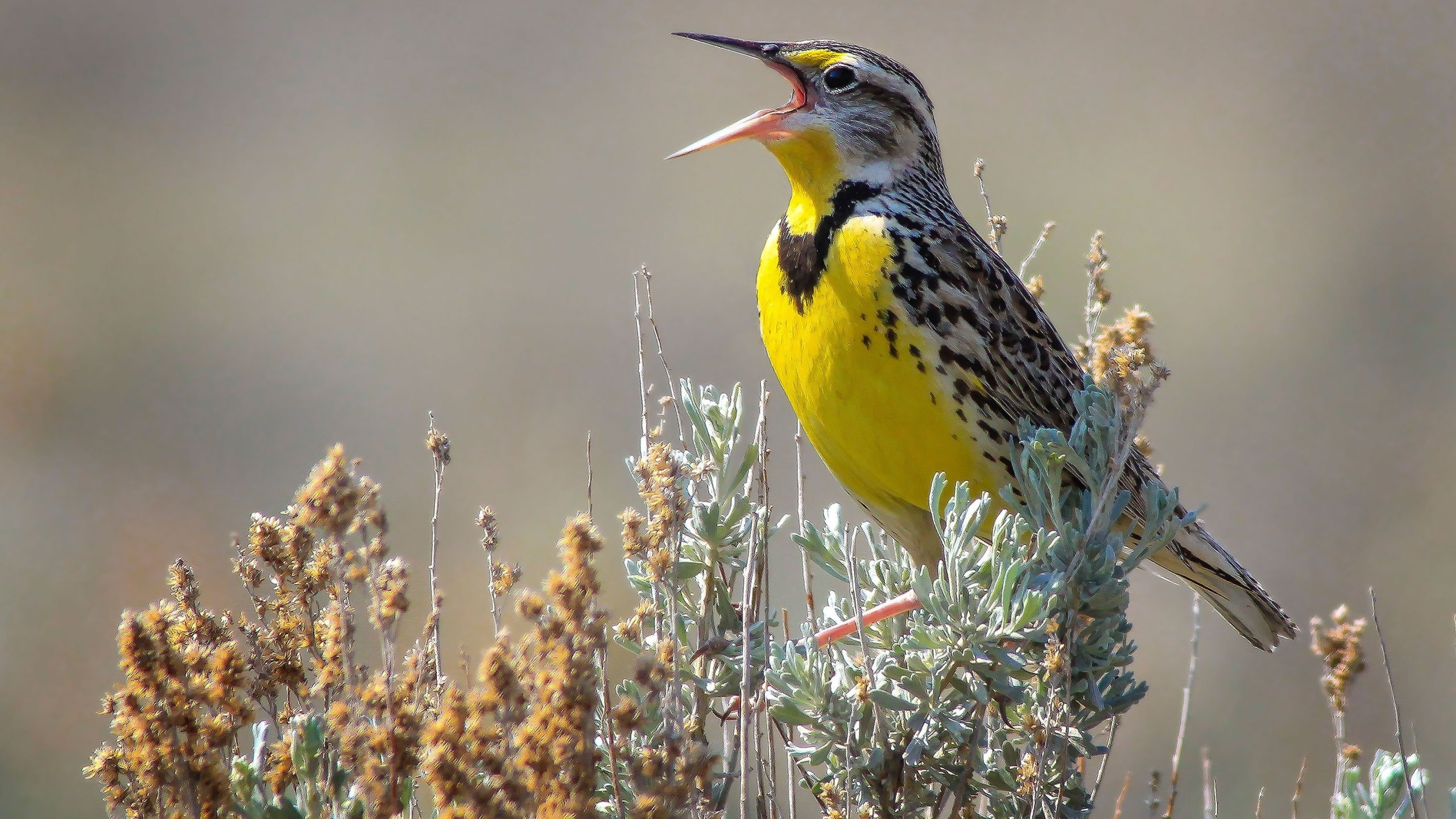 picture of a meadowlark