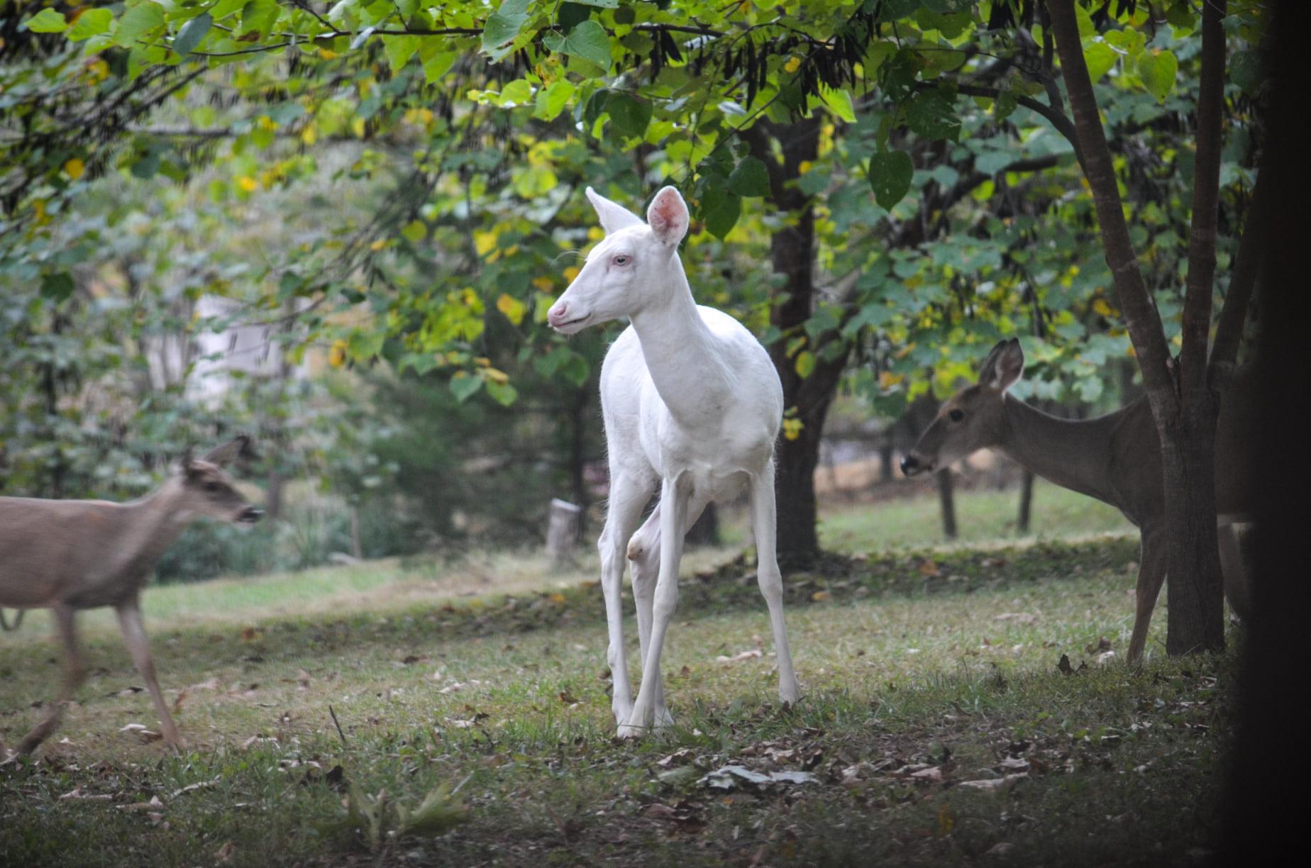 Albino deer picture