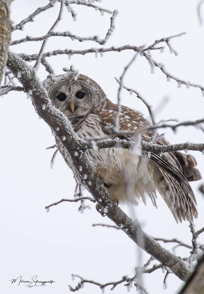 Picture of owl and rime ice