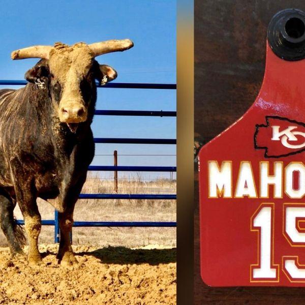 Mahomie the bull - Photos courtesy of PBR