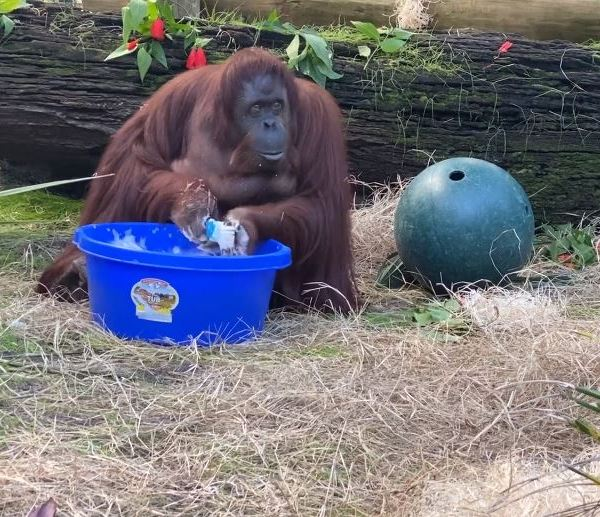 Picture of orangutang washing her hands