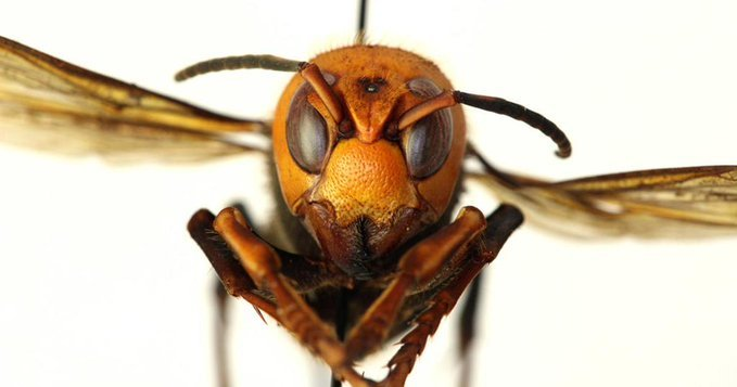 Murder hornet picture
