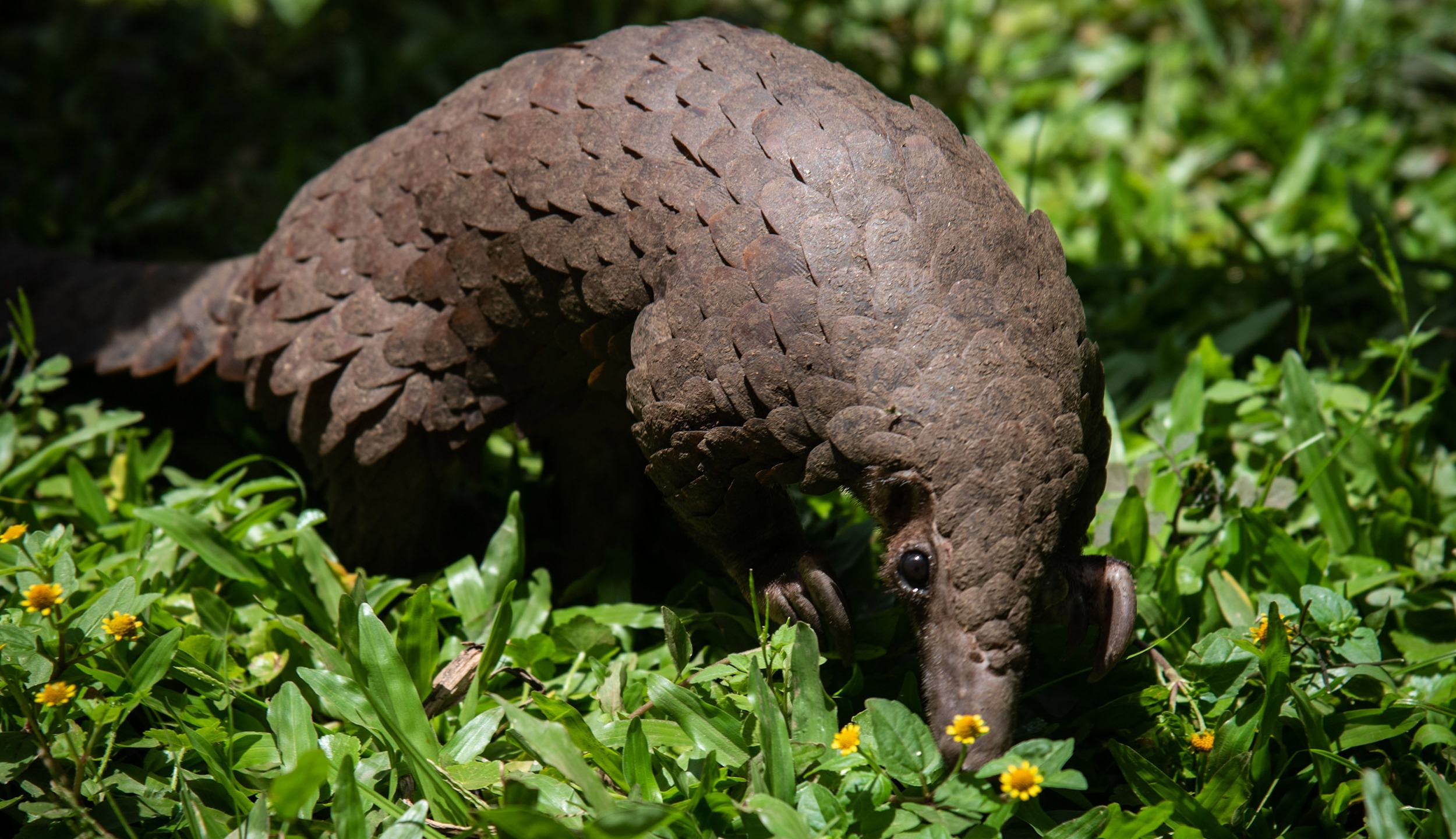 Picture of a pangolin