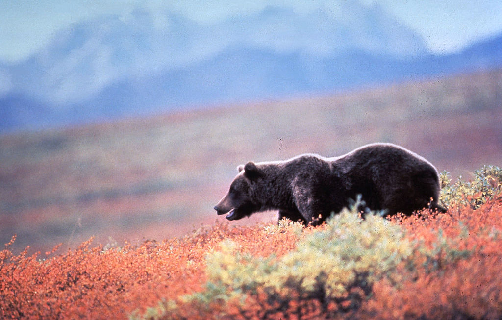 Picture of Grizzly Bear In Alaska