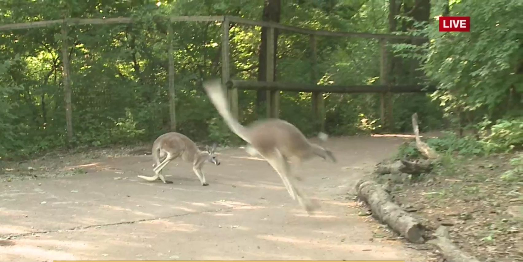 Picture of kangaroo hopping through exhibit