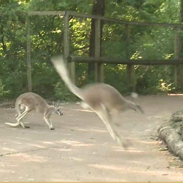 Picture of kangaroo hopping through exhibit