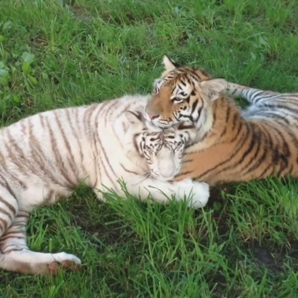 Picture of tigers together
