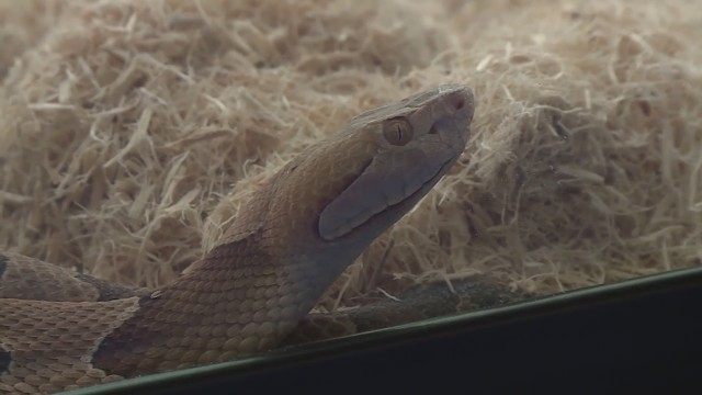 Watch Your Step Baby Copperhead Snake Season In Missouri Now Through October Fox 4 Kansas City Wdaf Tv News Weather Sports