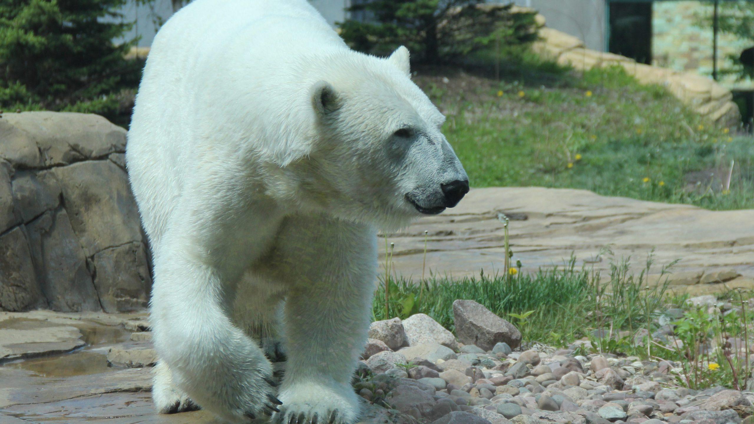 Picture of Nuniq the polar bear