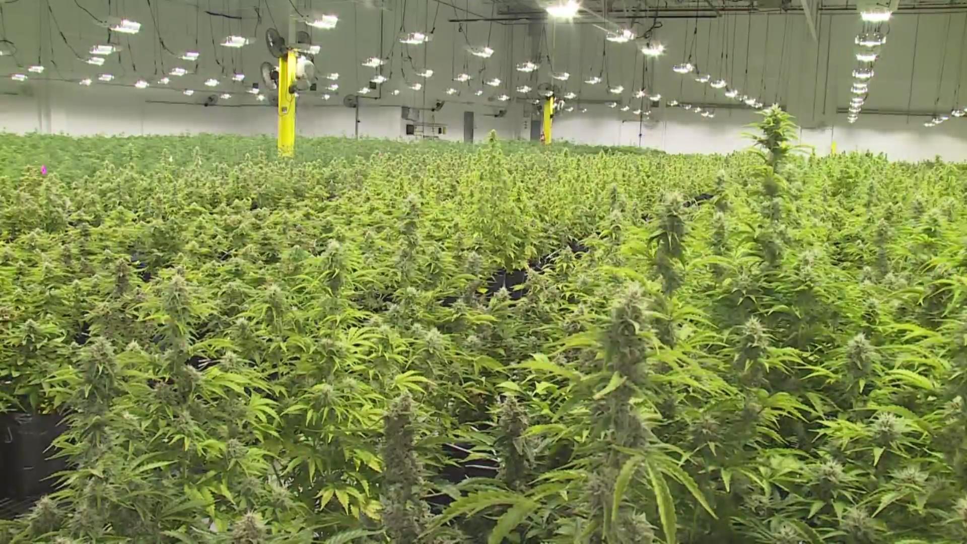 greenlight medical marijuana