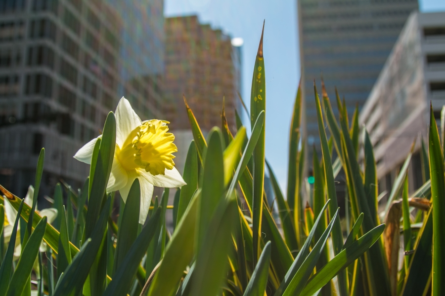 Picture of daffodil along Main and 8th.