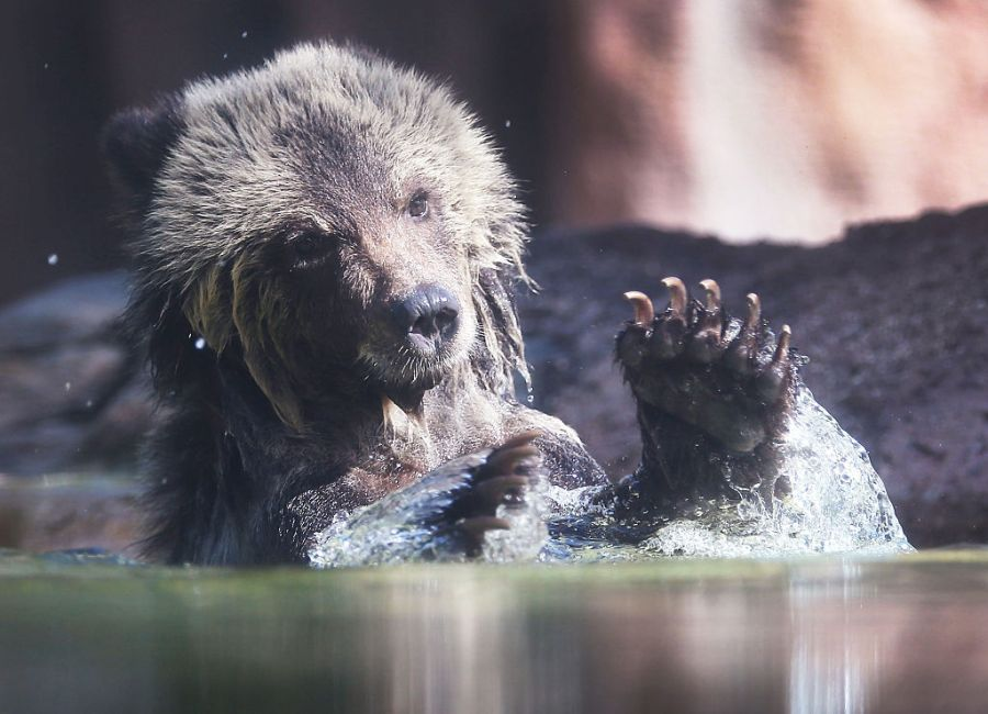 Picture of brown bear in water